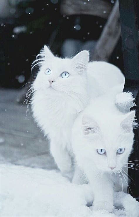 snow cats pictures   images  facebook