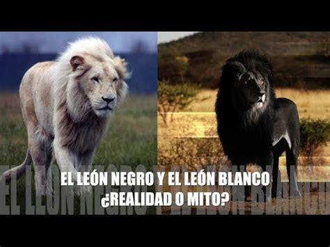 imagenes leon negro el leon negro y el leon blanco 191 realidad o mito la verdad
