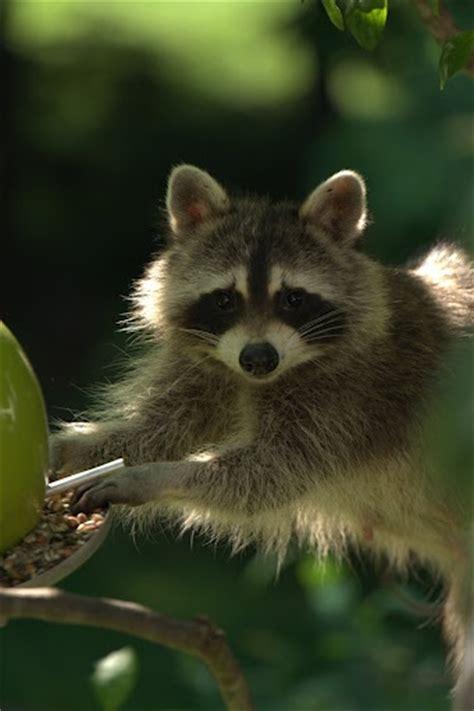 best 28 do racoons eat birds what do raccoons eat