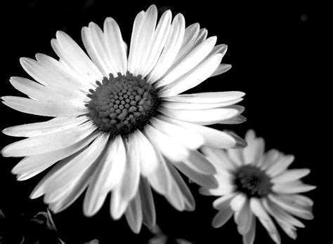 black and white daisy wallpaper 34 daisies photography black and white flowers 469