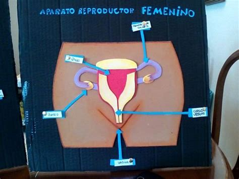 como hacer una maqueta del aparato reproductor femenino aparato reproductor femenino manualidades pinterest