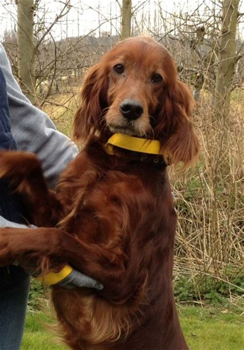 red setter working dog aiofe 5 6 year old female red irish setter dog for adoption