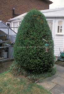 pruned yew evergreen fully recovered from pruning plant