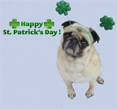 st patricks day pug pug photos of pugs images pug happy st s day wallpaper and