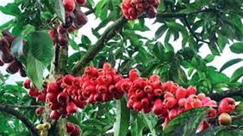 Pupuk Perangsang Bunga Jambu Air cara menanam jambu jamaika
