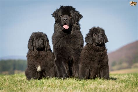 newfoundland dogs newfoundland breed information buying advice photos and facts pets4homes