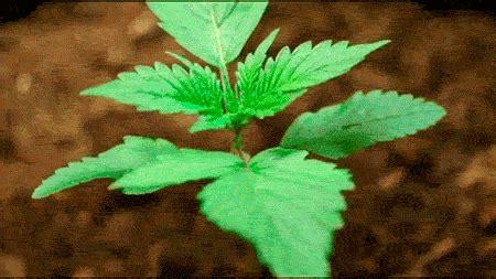 imagenes gif weed los mejores gif sobre la marihuana im 225 genes taringa