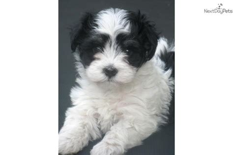 havanese puppies buffalo ny havanese puppy for sale near buffalo new york 00a9c052 4891