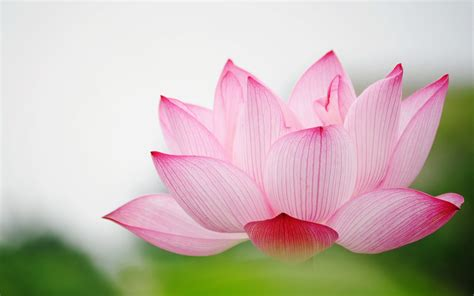 Lotus Gardens Postal Code Flower Wallpaper Wallpapersafari