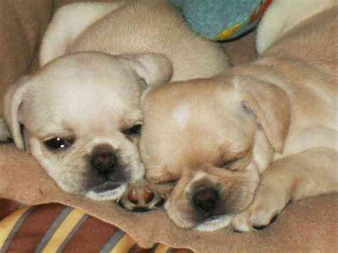 pug en venta perritos en venta pug mexicali doplim 32834