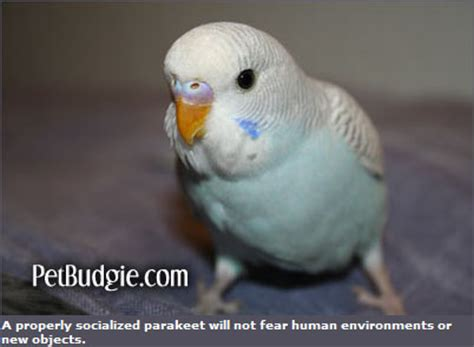Buys A Parakeet by Budgies Are Awesome Before You Decide On Buying A Budgie