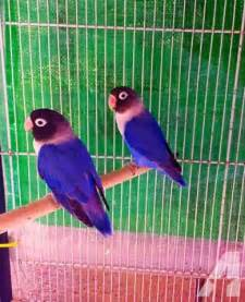 Violet masked lovebirds for sale in claremont california classified