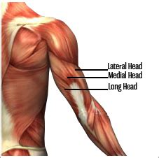 triceps diagram anatomy lesson triceps beautiful to the