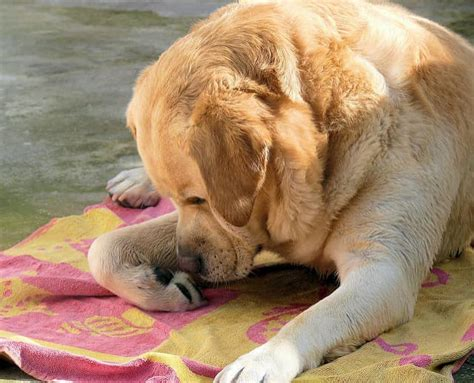 wont stop paw how to stop from paws shaynedoro goldens