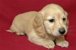 half golden retriever half dachshund for sale 1000 ideas about hair daschund on haired dachshund wiener dogs