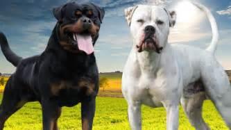 rottweiler bulldog rottweiler vs american bulldog facts