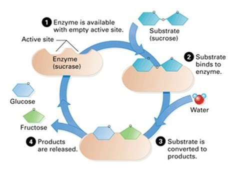 enzyme diagram factors affecting enzymes nygma science