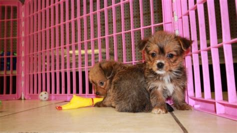 yorkies for sale in augusta ga cuddly havashire puppies for sale in atlanta ga at puppies for sale local