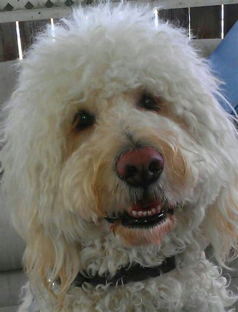 doodle service 17 best images about goldendoodles on service