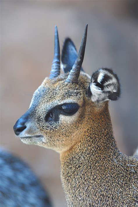 kirks dik dik  kirks dik dik   small antelope  flickr