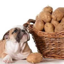 dogs eat potatoes toxic foods that are harmful to your pet all that