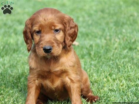 golden retriever setter mix puppies for sale setter puppy puppies setter