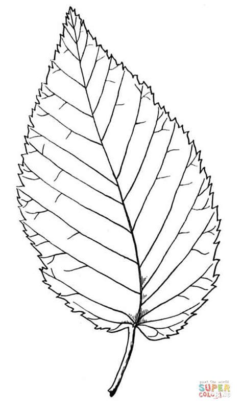 hickory tree coloring page beech leaf coloring page free printable coloring pages