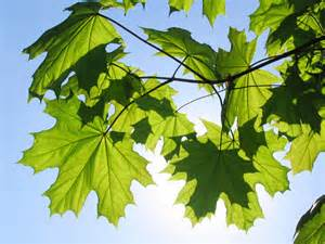 maple tree varieties information about maple tree