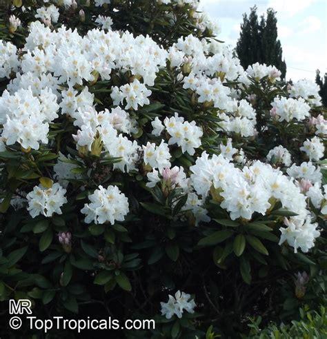 rhododendron hybrid white white rhododendron