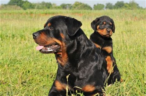 facts about rottweiler puppies rottweiler facts traits free rottweiler puppies must dogs