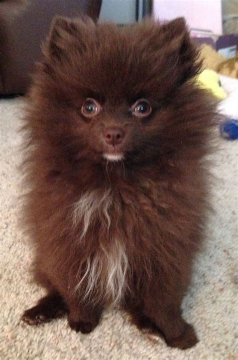 pomeranian chocolate my chocolate pomeranian name is mocha frappuccino animals mocha