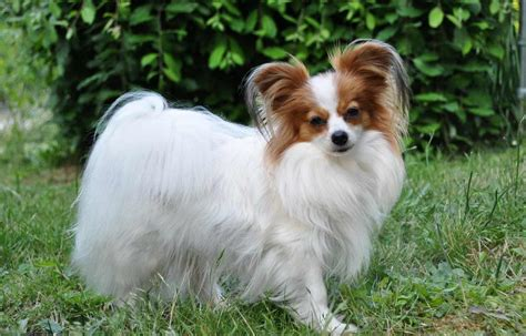 papillon puppy papillon breed 187 information pictures more