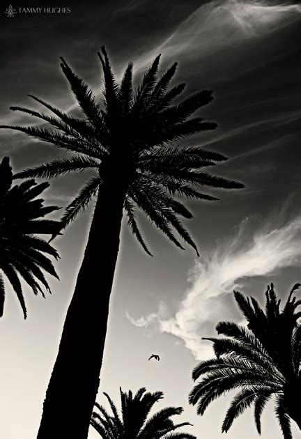 34 best images about cali trees on beautiful sunset sun and fort lauderdale