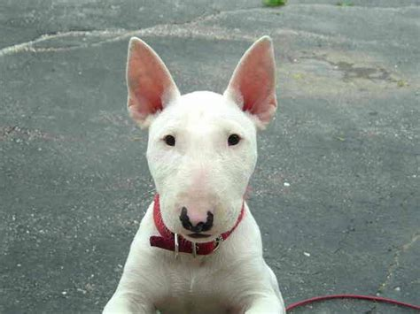 miniature bull terrier puppies for adoption miniature bull terrier rescue quotes