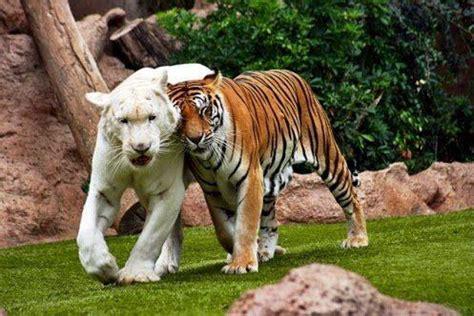 imagenes de leones y tigres peleando fotos de leon y tigre peleando bing images