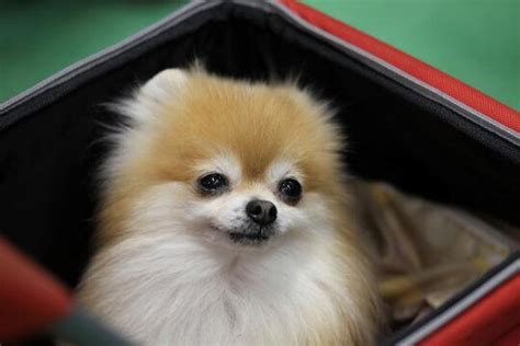 pomeranian behavior issues pomeranian characteristics appearance and pictures