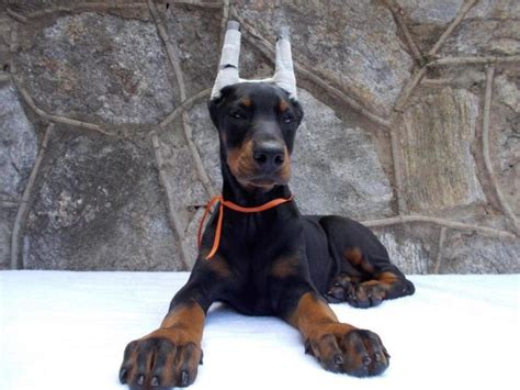 doberman puppy cropped ears 100 european dobermans puppies with ears cropped in hoobly classifieds