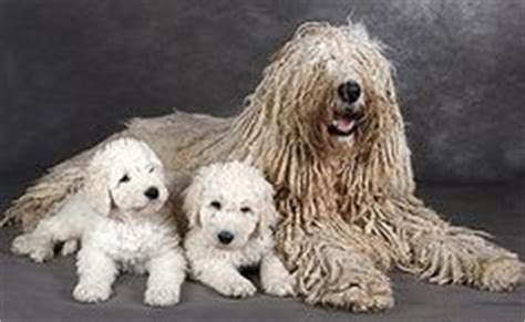 mop breed 1000 images about pes on komondor mop and big breeds