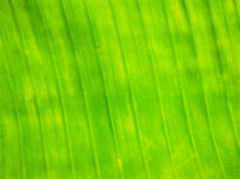 banana leaf hd wallpaper banana leaf wallpapers and images wallpapers pictures