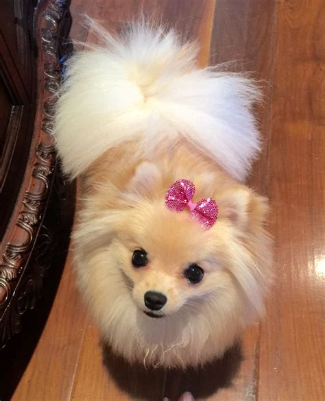 pomeranian with bow 3631 best dogs images on pomeranians animals and pom poms