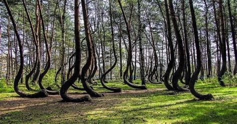 crooked forest poland mysterious crooked forest in poland