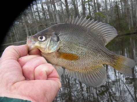 yellow crappie crappie crappie new year on the northwest river