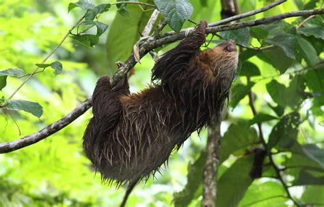 toed sloth  life  animals