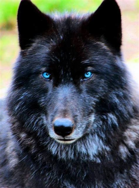 google images wolf black alpha wolf with red eyes tattoo google search
