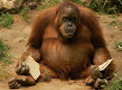 babbuini sedere rosso come eravamo la nascita dei simioti 171 sos sona