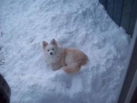 pomeranian and eskimo mix pin by the daily puppy on american eskimo