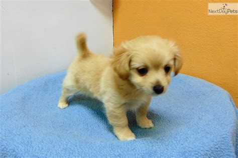 chihuahua and pomeranian mix puppies for sale cara pomeranian puppy for sale near los angeles california 3a19fbd8 1c31