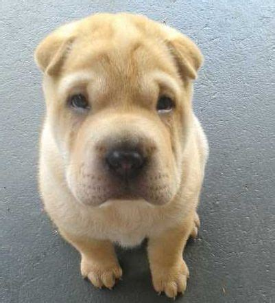 shar pei puppies for sale craigslist 1000 ideas about shar pei for sale on shar pei puppies shar pei and shar
