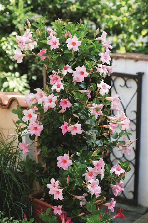 sundaville fiore mandevilla sundaville pink lubera ch