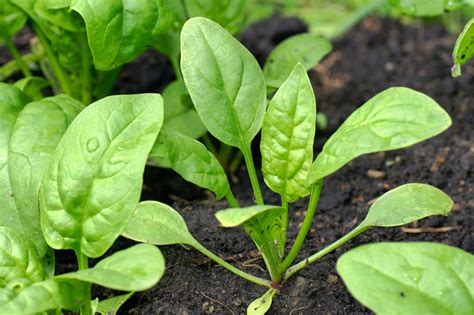 Spinach Garden by Tips For Growing Spinach Information On Spinach Planting